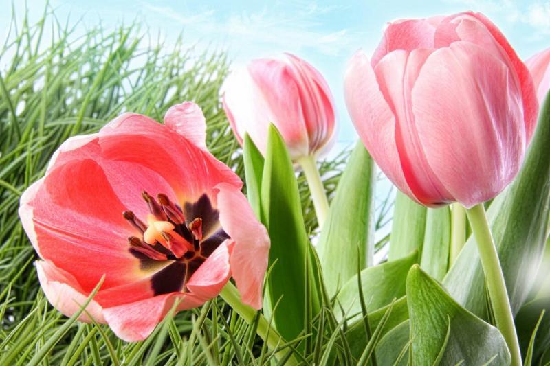 Необычный парфюм с ароматом тюльпана, остающегося только мечтой