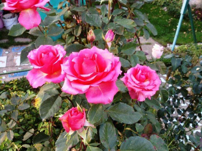 Чем закончилась моя безумная погоня за красотой и ароматом голубой розы
